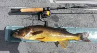 I caught this beautifully colored, 24-inch walleye on Kenogamissi Lake just southwest of Timmins, Ontario. Pitching a 1/8 oz jig tipped with a minnow into shallow, timber-strewn shorelinelanded me several […]